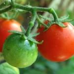 Разсад на домати! Екологично гледани, без препарати!