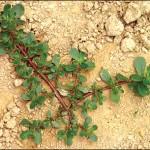 Тученицата – не просто бурен, а ценно растение!